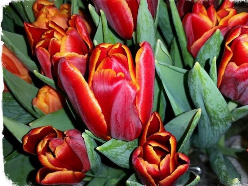 tulipani quero vas