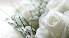 bocciolo di rosa bianca