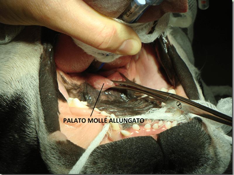 brachicefalica palato molle allungato