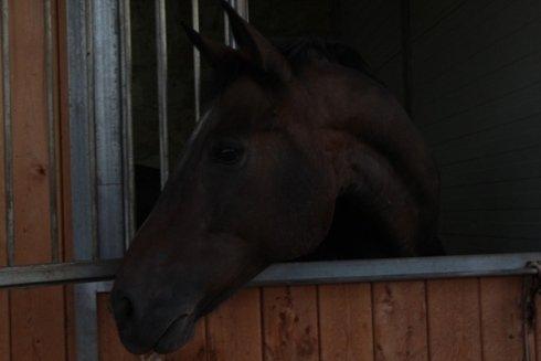 un cavallo marrone nel suo box