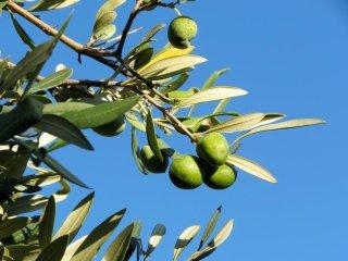 delle olive su un ulivo