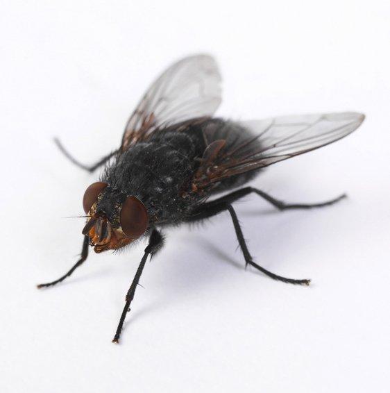 common house flies