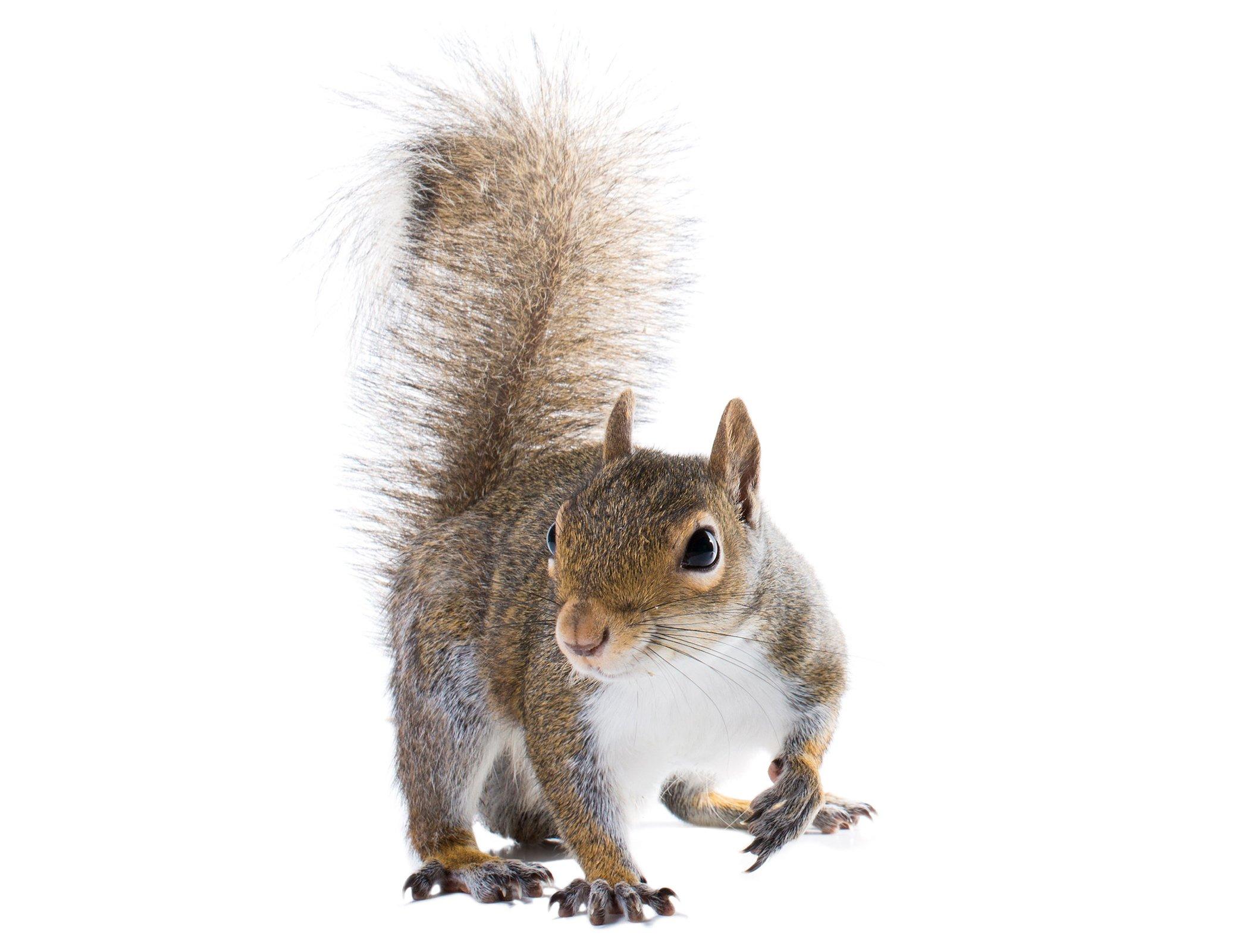attractive squirrel