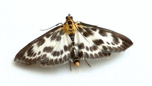 white shouldered house moth