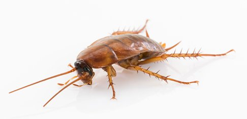 small cockroach