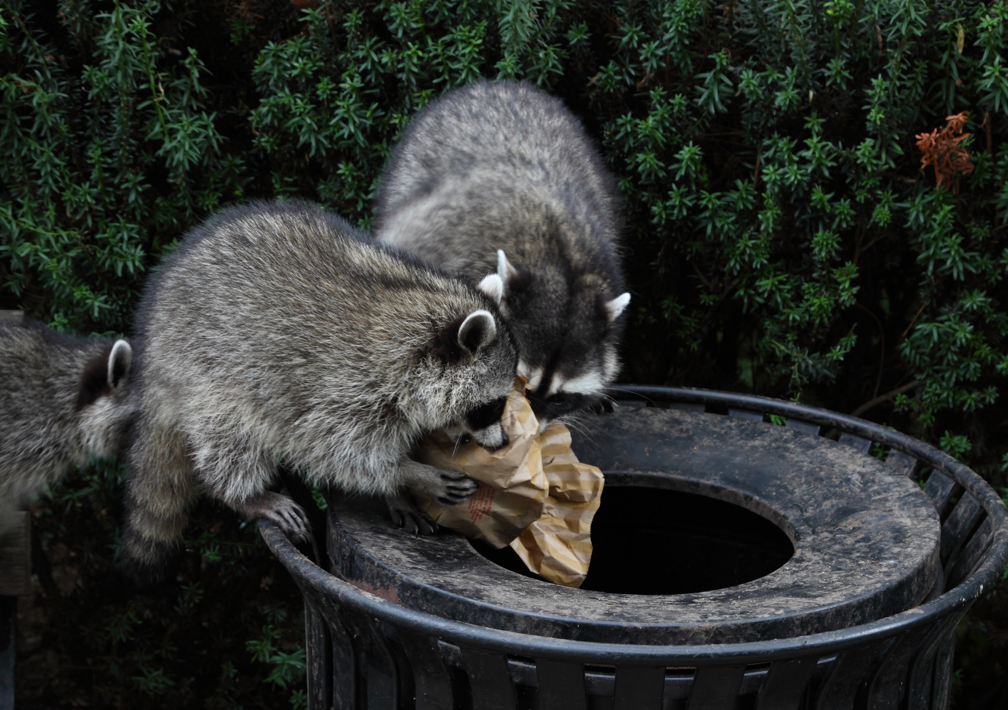 Nuisance racoon removal in St. Charles