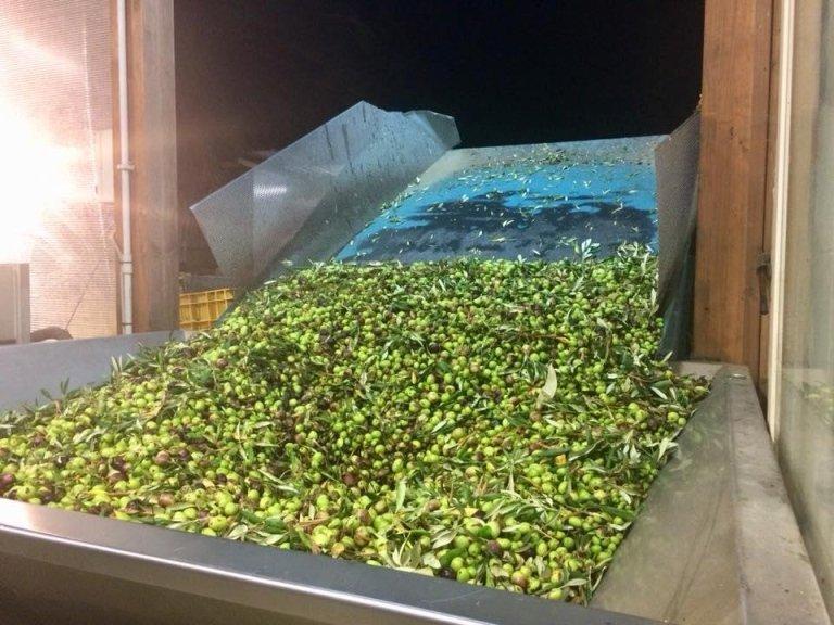 raccolto olive 2017