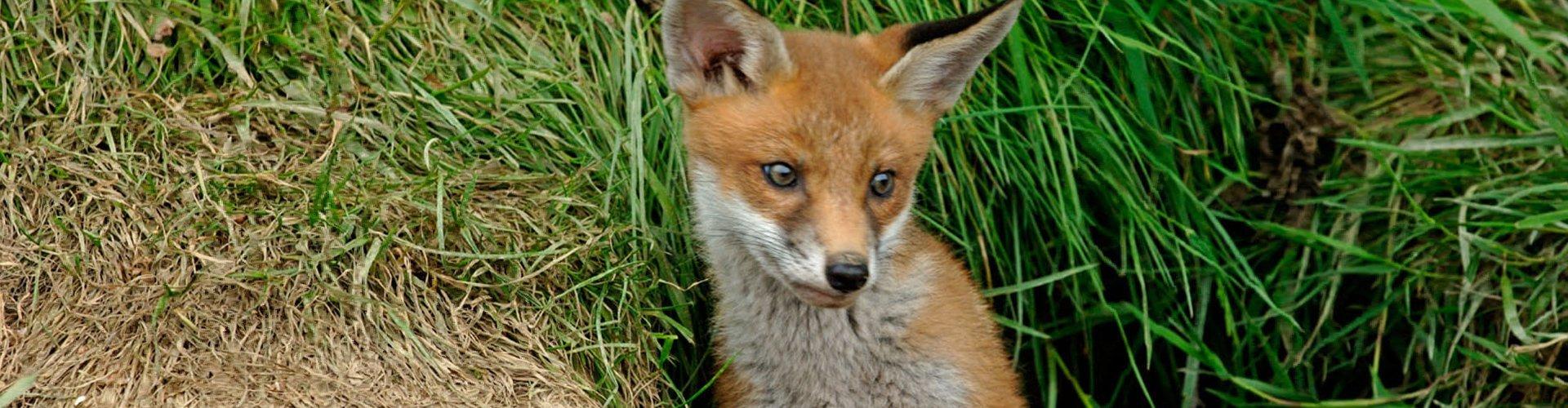 A small fox