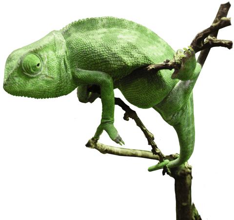 A green chameleon
