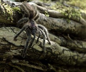 A tarantula crawling on a branch