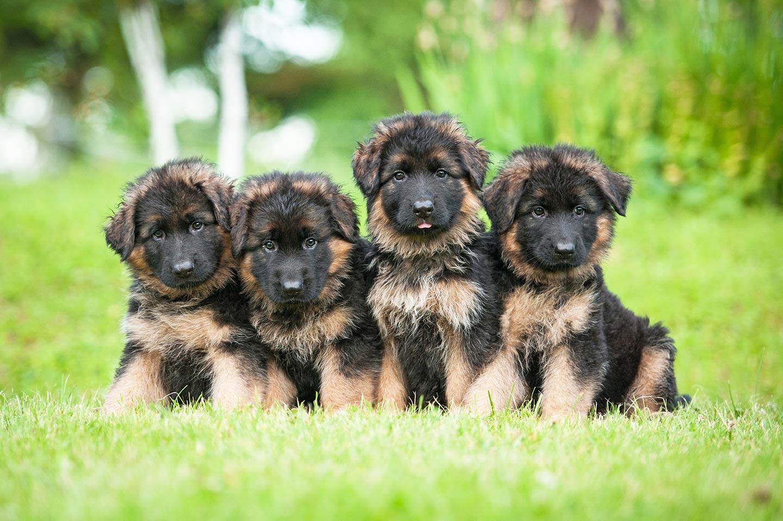 quattro cuccioli di pastore tedesco