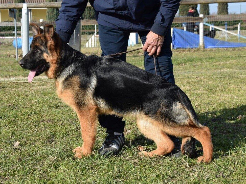 Allevamento Cani Pastore Tedesco E Pitbull Firenze Allevamento