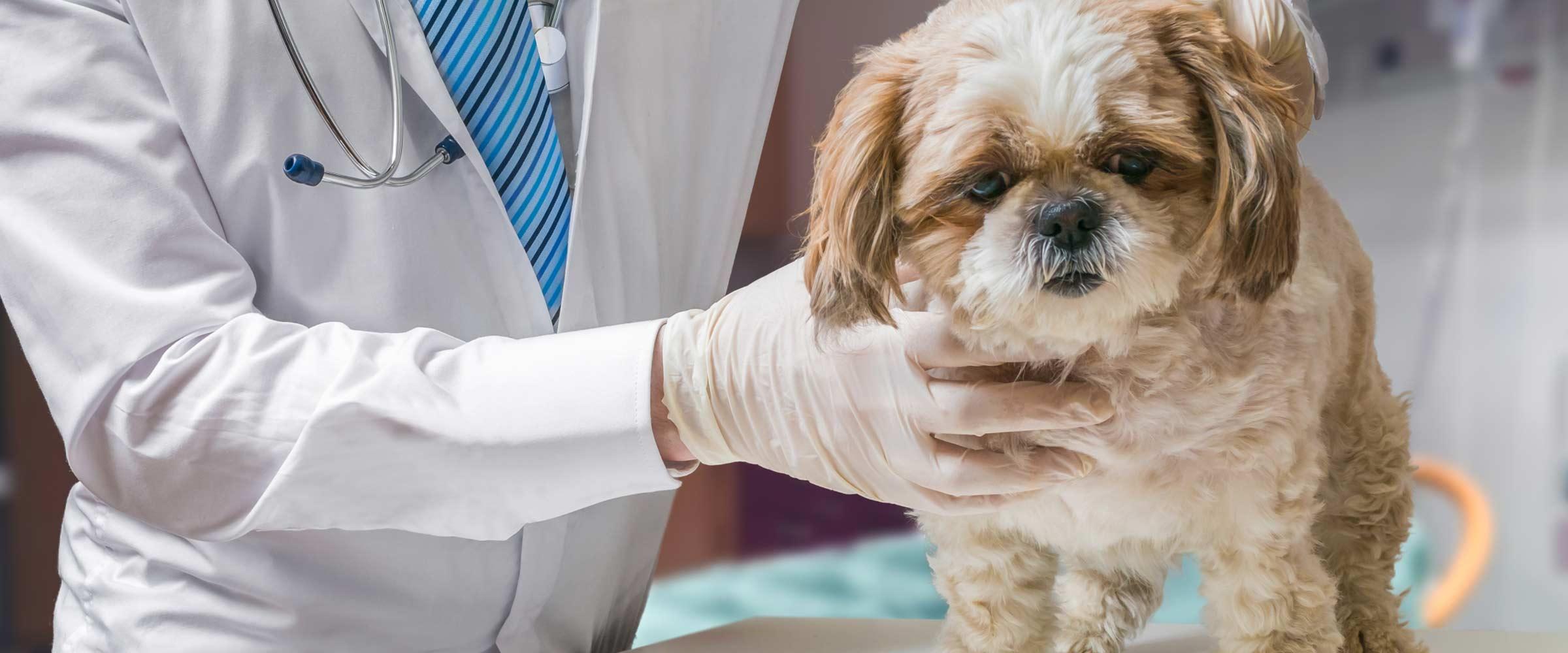 morphettville veterinary clinic little puppy gets the treatment