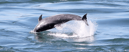 Image of a dolphin
