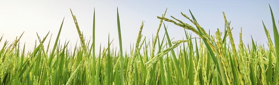 vendita diretta riso
