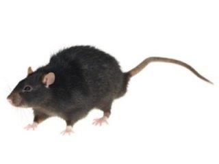 Ratto nero