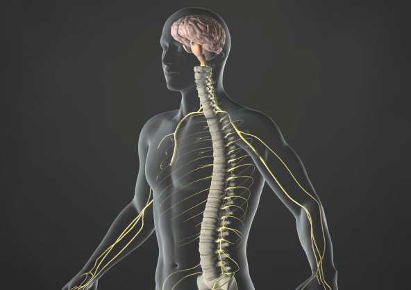 skeleton brain nervous system balance human boy