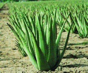 aloe vera plant nature growth harmony