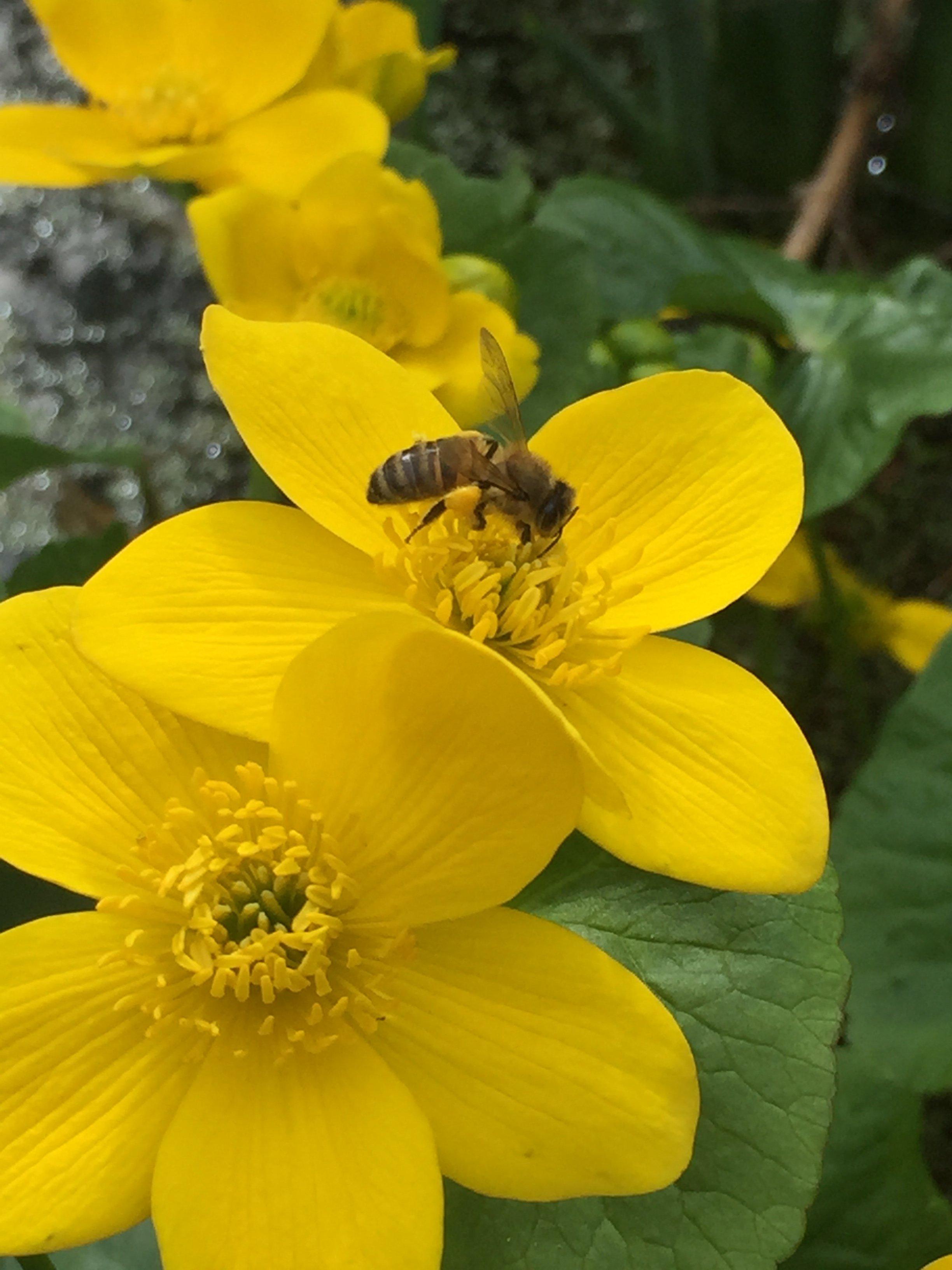 Aprils focus on forage honey bee on marsh marigold mightylinksfo