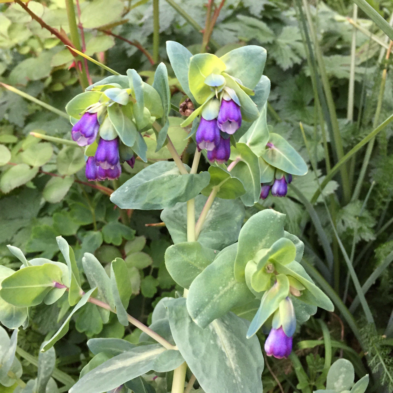 Aprils focus on forage honeywort mightylinksfo