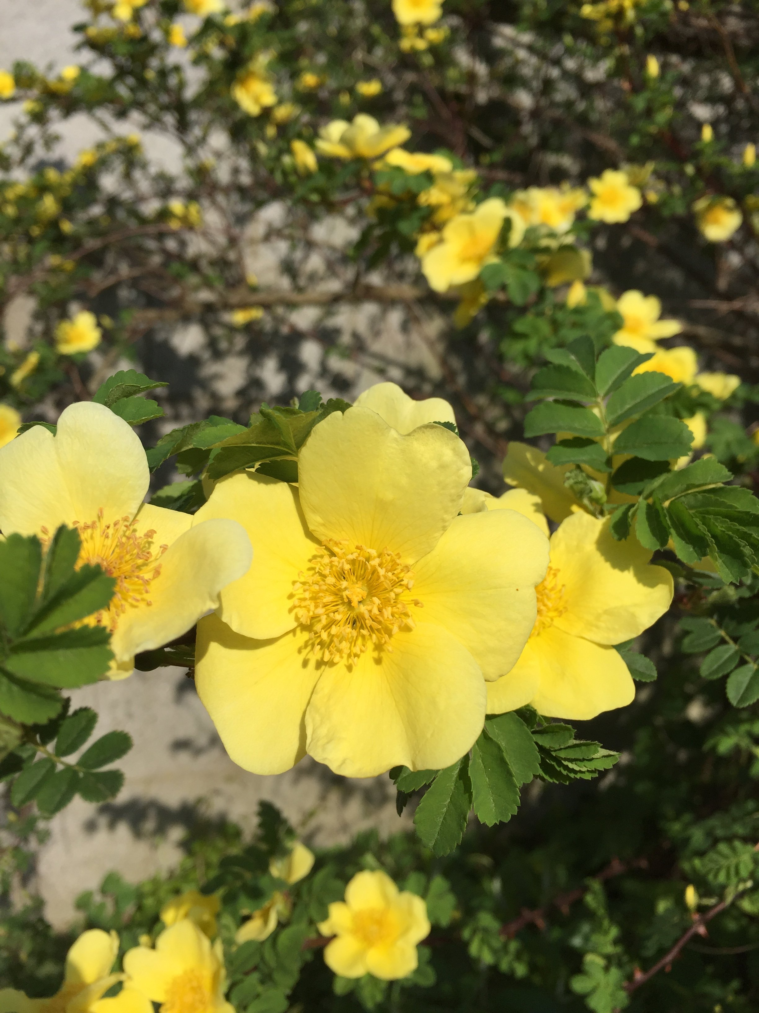Aprils focus on forage canary bird rose mightylinksfo