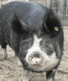 Ten Trees Berkshire Pigs