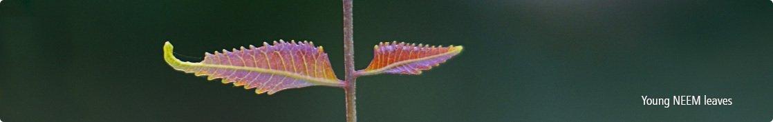 Enhance beauty with neem leaves