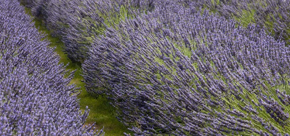 lavender oil crop field