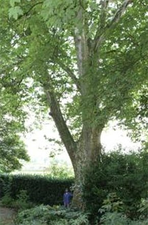 tree-surgery--cupar-blebo-tree-surgery--tree-surgery-