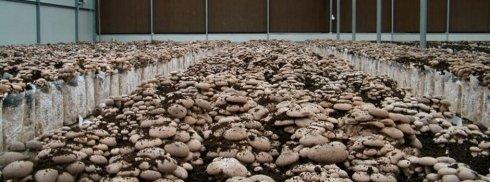 coltivazione cardoncello