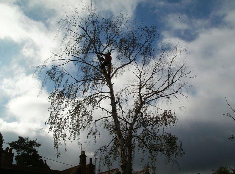General tree felling
