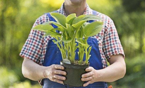 uomo in tenuta da giardiniere regge una vaso con pianta a foglie verdi e larghe