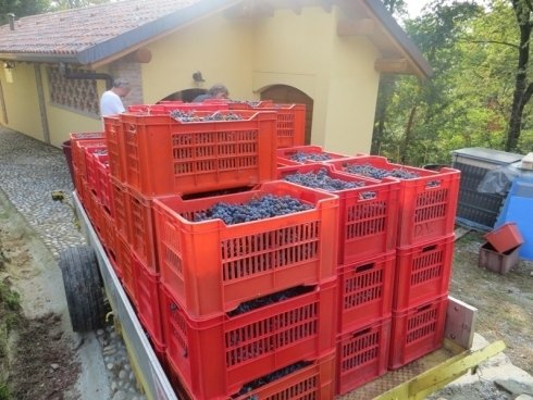 Casse di uva merlot