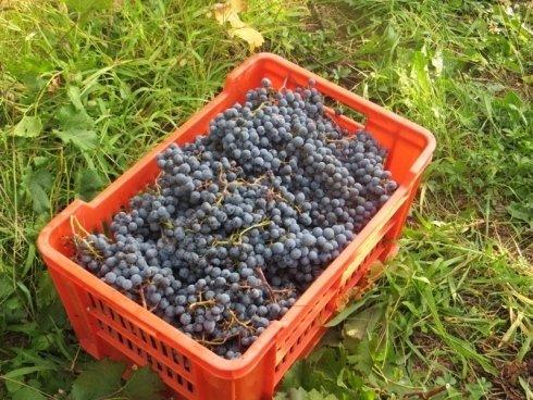 Cassetta acini uva