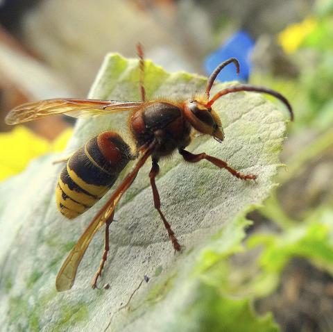 VESPA CRABRO, disinfestazione vespe