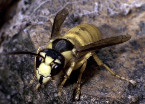 vespa, disinfestazione vespe