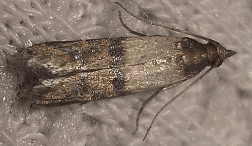 tignola fasciata del grano, disinfestazione insetti, insetti
