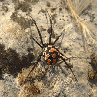 THERIDIIDAE, disinfestazione ragni