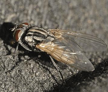 mosca domestica, disinfestazione mosche