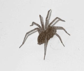 AGELENIDAE, disinfestazione ragni