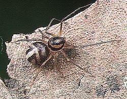 SCYTODIDAE, disinfestazione ragni