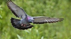 allontanamento piccioni