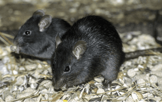 ratto nero, derattizzazione