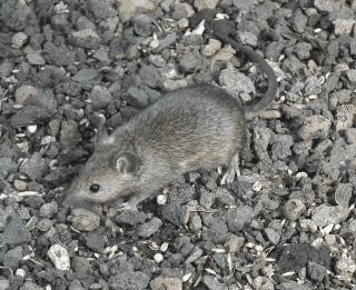 topolino domestico, derattizzazione, disinfestazione ratti