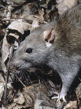ratto  norvegese, derattizzazione, disinfestazione ratti