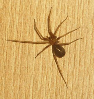 SICARIIDAE, disinfestazione ragni