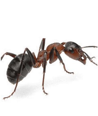 formiche, disinfestazione formiche