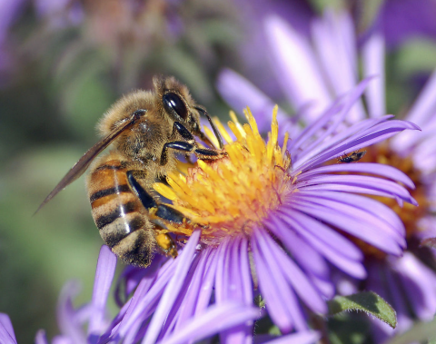 apis mellifera, disinfestazione api