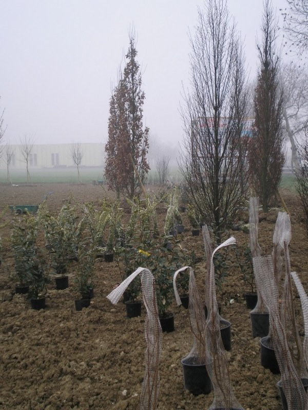 Posa alberi per verde aziendale