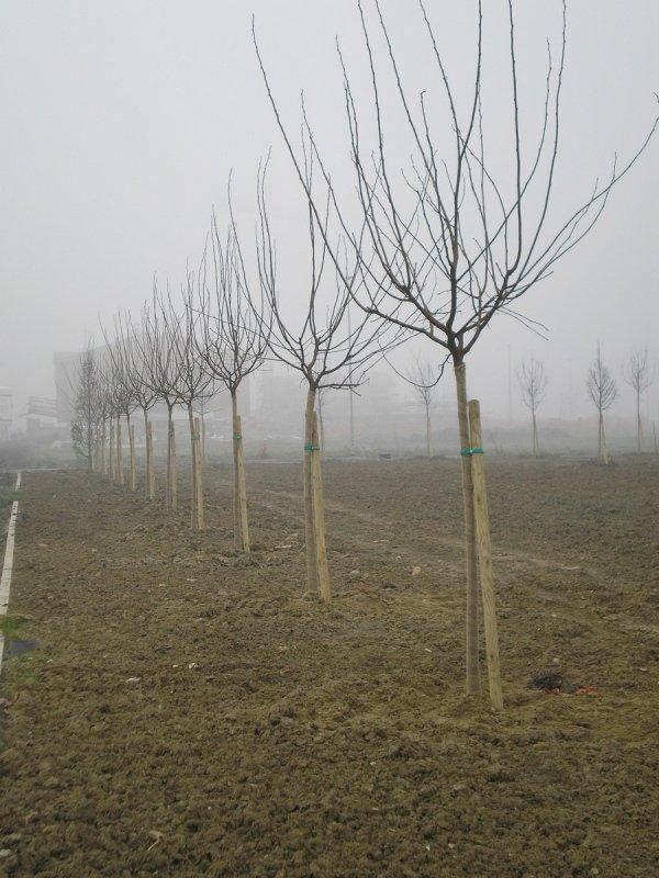 Posa alberi